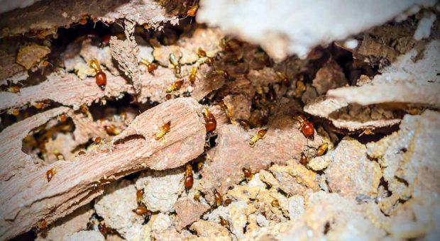 Diagnostic termites obligatoire